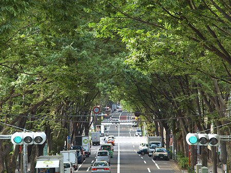 中杉通りのケヤキ並木